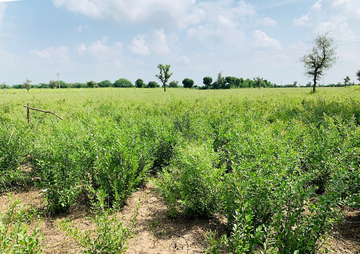 2019年産のヘナの畑
