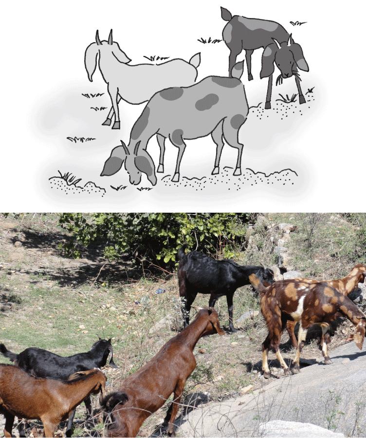 ヘナ畑のヤギ
